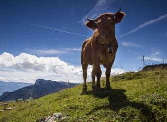 La villarde - vache du vercors